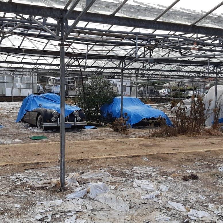 Jaguars-greenhouse-6