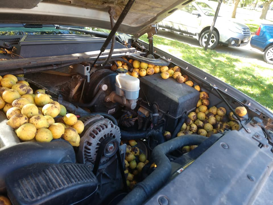 Chevrolet-Avalanche-Squirrel-Walnuts-1