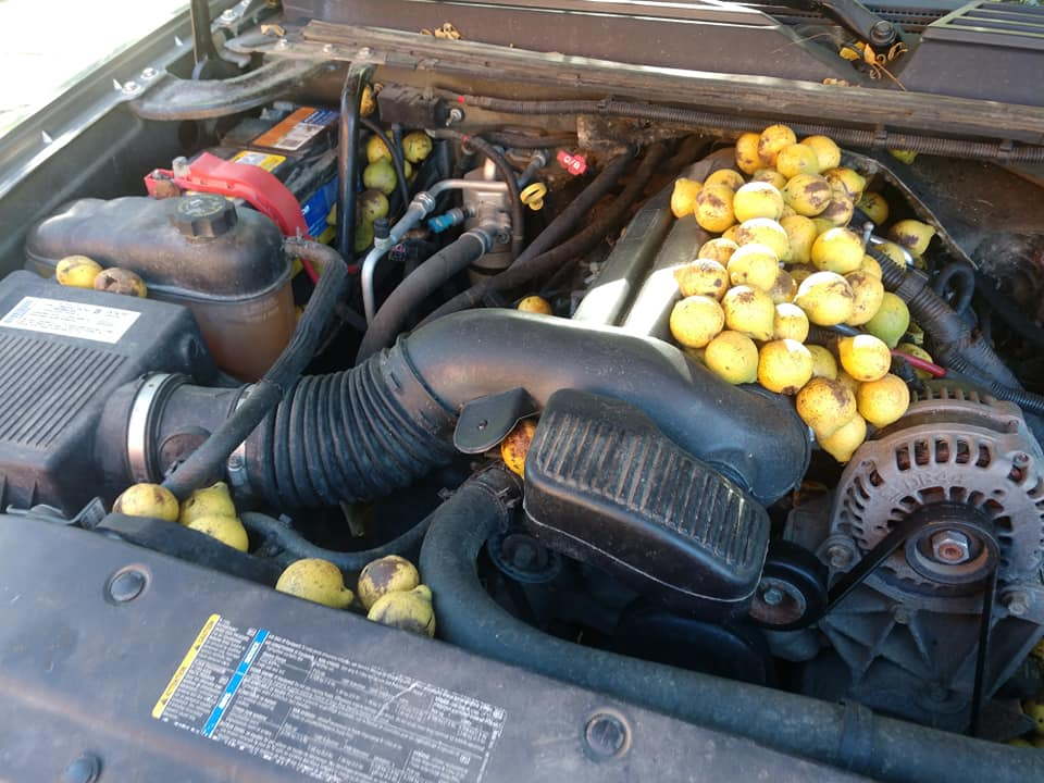 Chevrolet-Avalanche-Squirrel-Walnuts-2